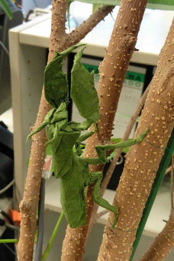 Boxer Mantis at work